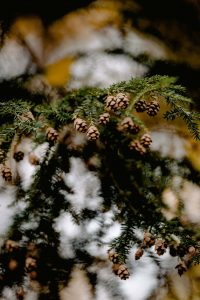 Pine Bough with Pine Cones